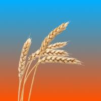 Cereale - Plante